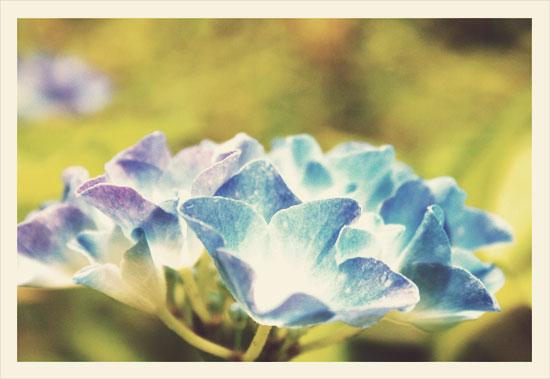 hortensie4s.jpg