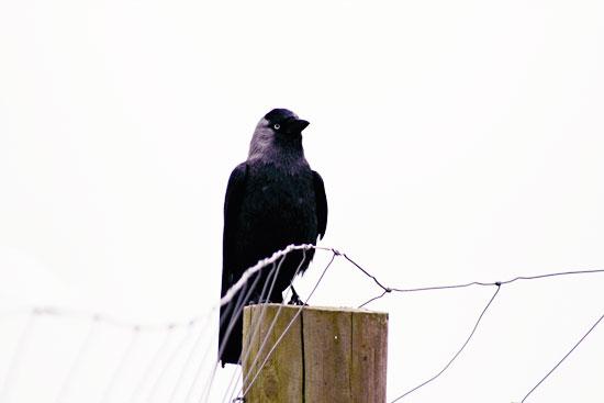 crow1s.jpg
