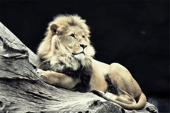 lion1s.jpg