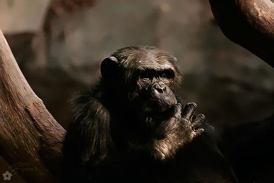 schimpanse1s.jpg